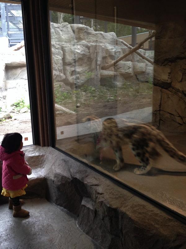 円山動物園で虎を見る子ども